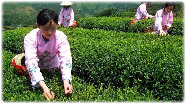 Сбор чая с плантаций в Китае