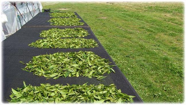 Сушка на солнце чайного листа при изготовлении Шен Пуэра