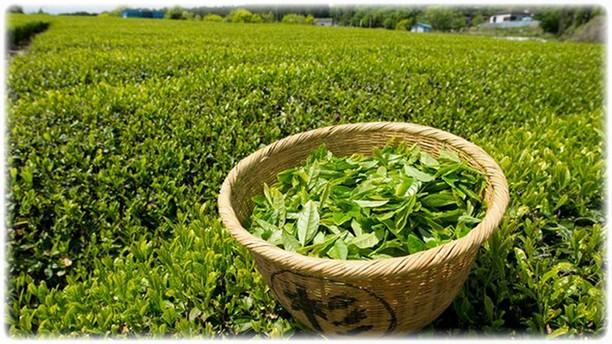 Урожай свежего зелёного чая