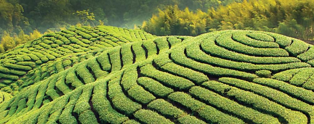 Чайные плантации в Китае. Провинция Фуцзянь.