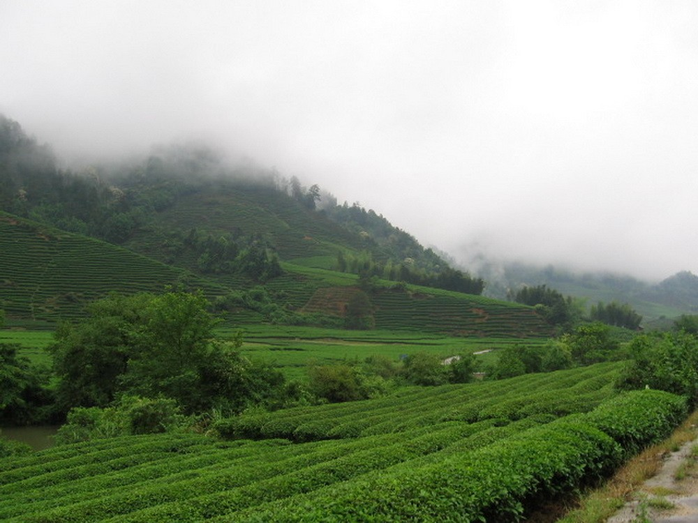 Чайные Плантации Уишань. Автор Xing.