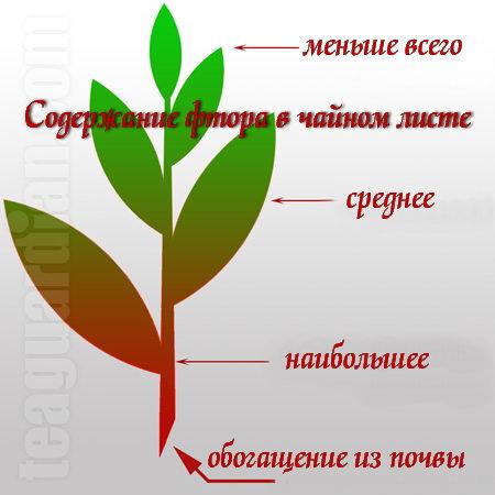 Чайное растение будь то куст или дерево поглощает фтор из почвы, более старая часть растения содержит фтора больше всего.