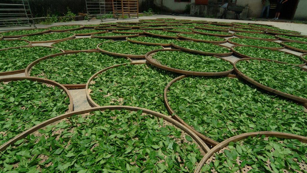 Сушка зелёного чая на солнце в лотках