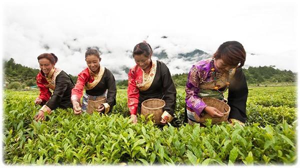 Сбор чая с плантаций в Китае. Самый полезный зеленый чай всегда должен быть свежий.