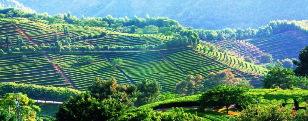 Чайные плантации Пуэра в Юньнане.
