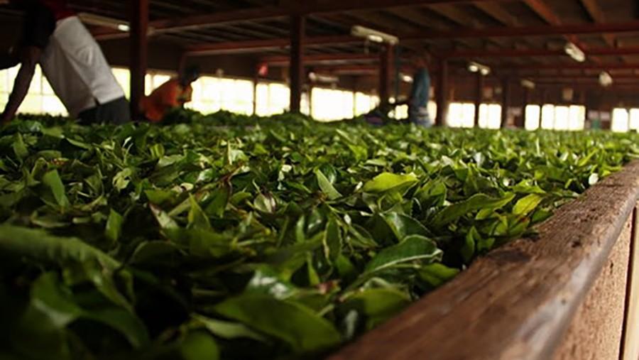 Ферментативное окисление чайных листьев один из самых загадочных процессов, определяющих дальнейшие гастрономические свойства чая.